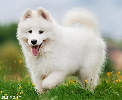 سگ پشمالو